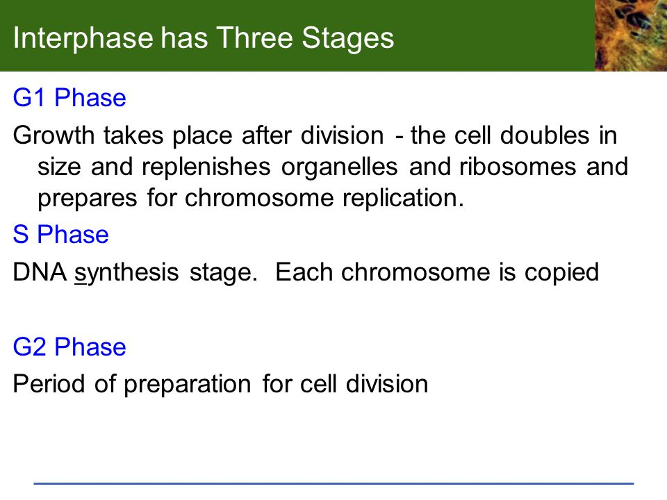 Interphase has Three Stages