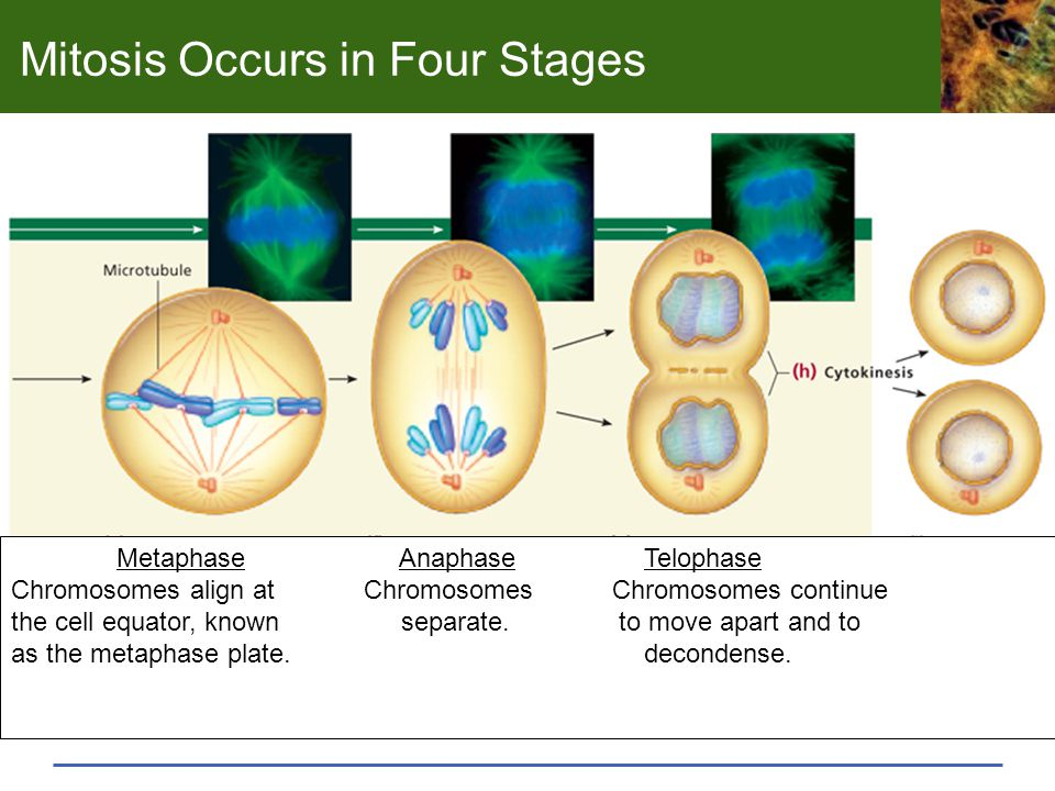 Mitosis Occurs in Four Stages