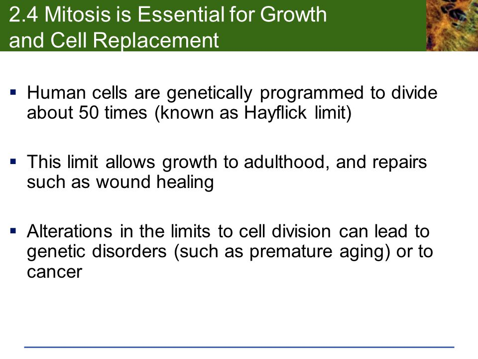 2.4 Mitosis is Essential for Growth and Cell Replacement