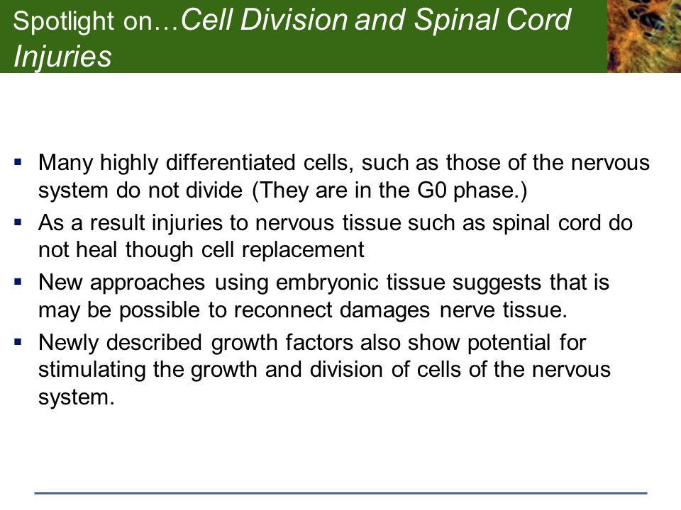 Spotlight on…Cell Division and Spinal Cord Injuries