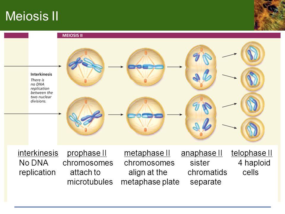 Meiosis II interkinesis prophase II metaphase II anaphase II telophase II. No DNA chromosomes chromosomes sister 4 haploid.