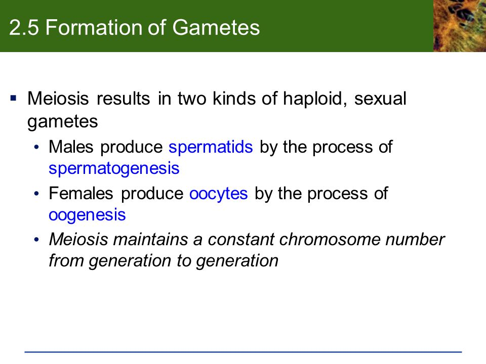 2.5 Formation of Gametes Meiosis results in two kinds of haploid, sexual gametes. Males produce spermatids by the process of spermatogenesis.