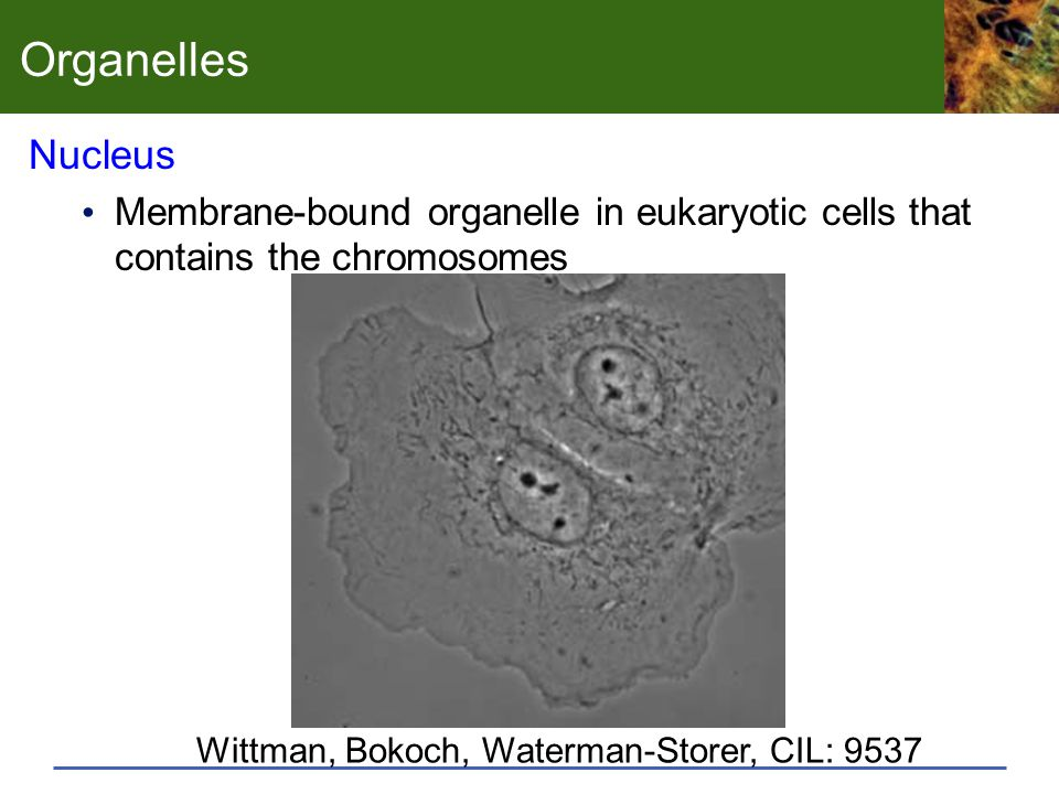 Organelles Nucleus. Membrane-bound organelle in eukaryotic cells that contains the chromosomes.
