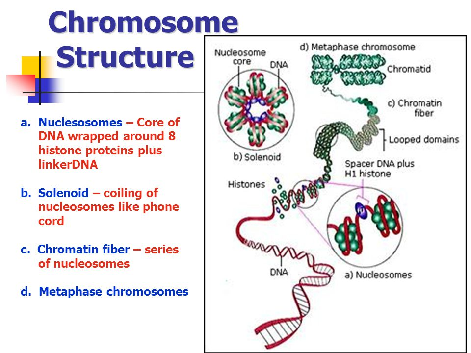 Chromosome Structure Nuclesosomes – Core of DNA wrapped around 8 histone proteins plus linkerDNA. Solenoid – coiling of nucleosomes like phone cord.