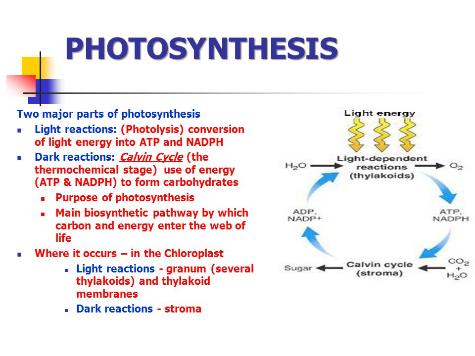 PHOTOSYNTHESIS Two major parts of photosynthesis