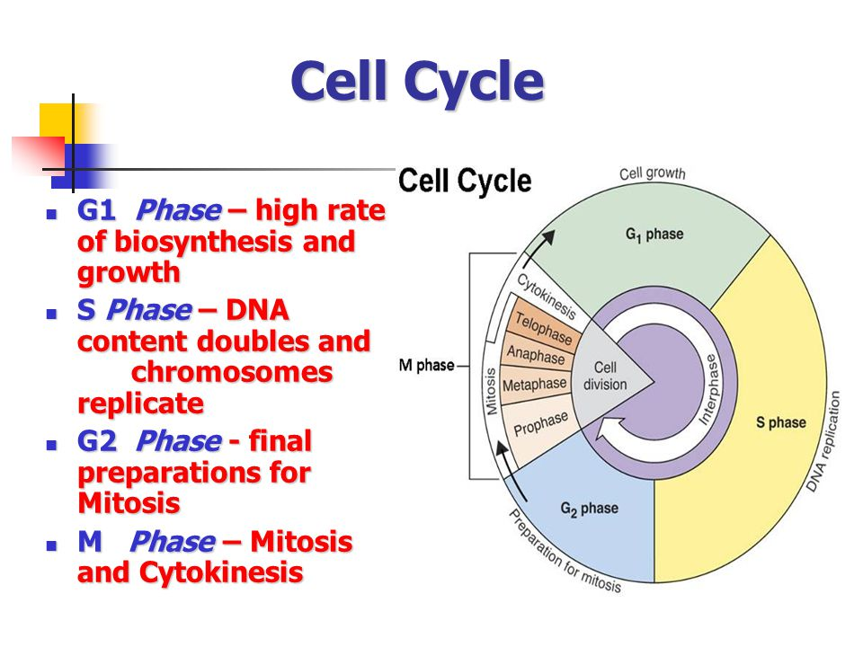 Cell Cycle G1 Phase – high rate of biosynthesis and growth