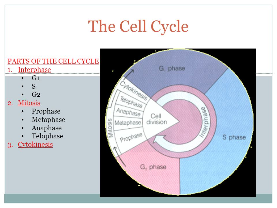 The Cell Cycle PARTS OF THE CELL CYCLE Interphase G1 S G2 Mitosis