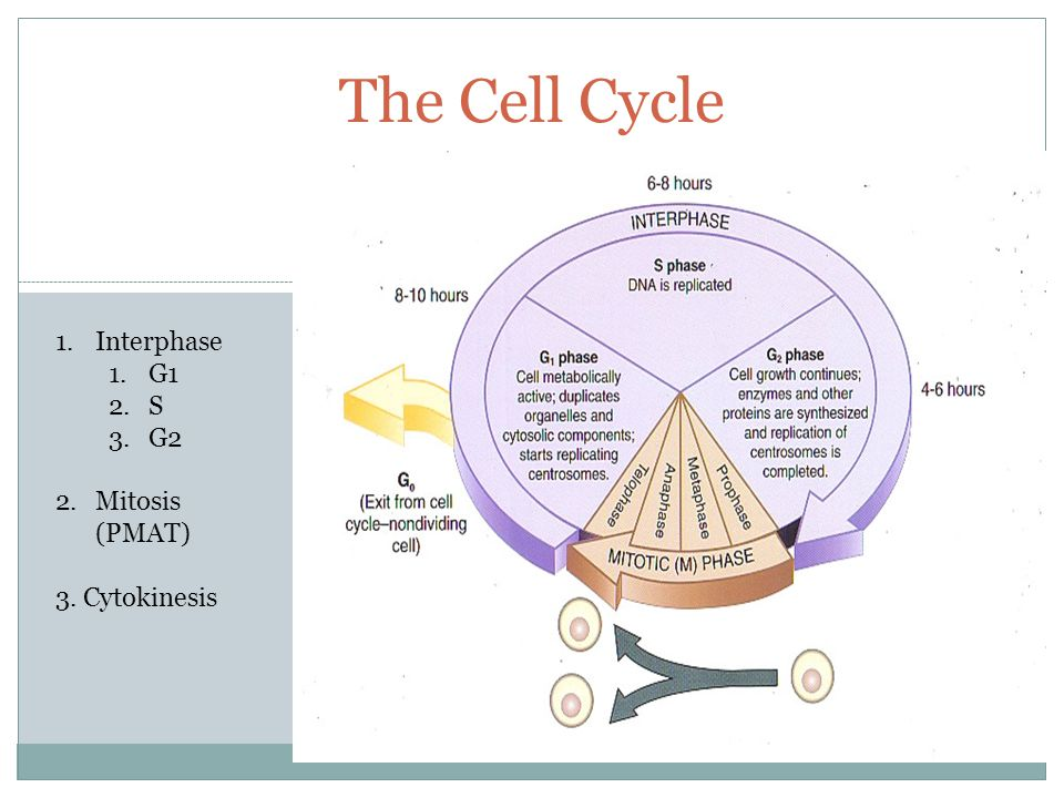 The Cell Cycle Interphase G1 S G2 Mitosis (PMAT) 3. Cytokinesis