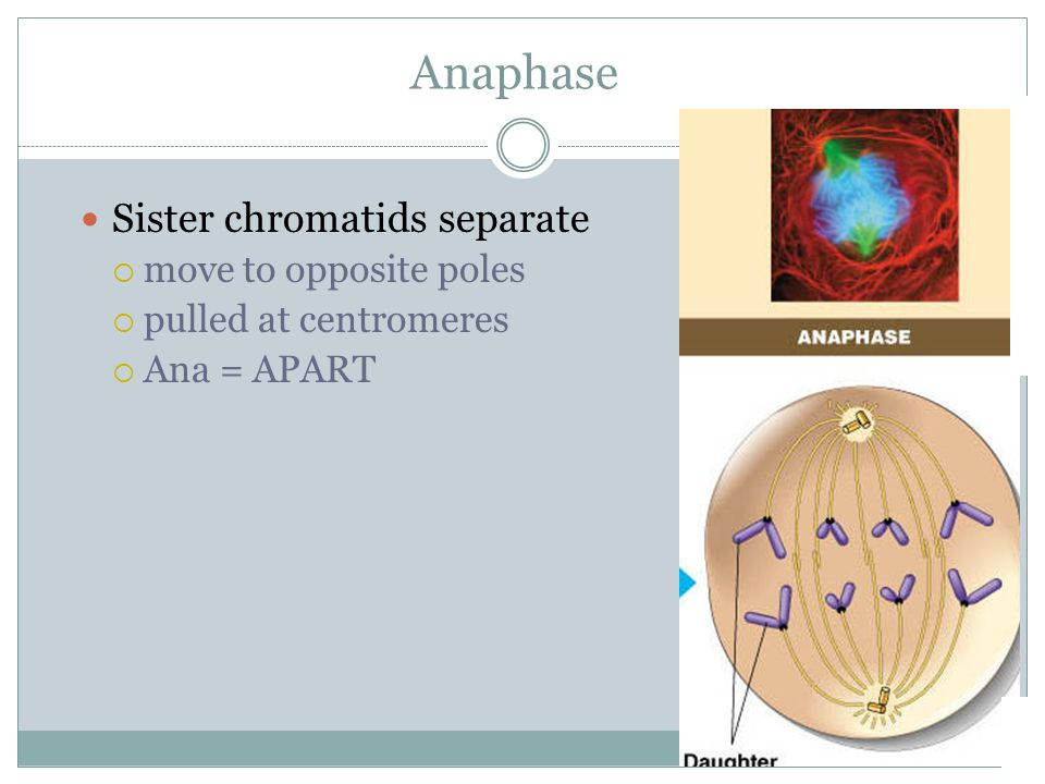Anaphase Sister chromatids separate move to opposite poles