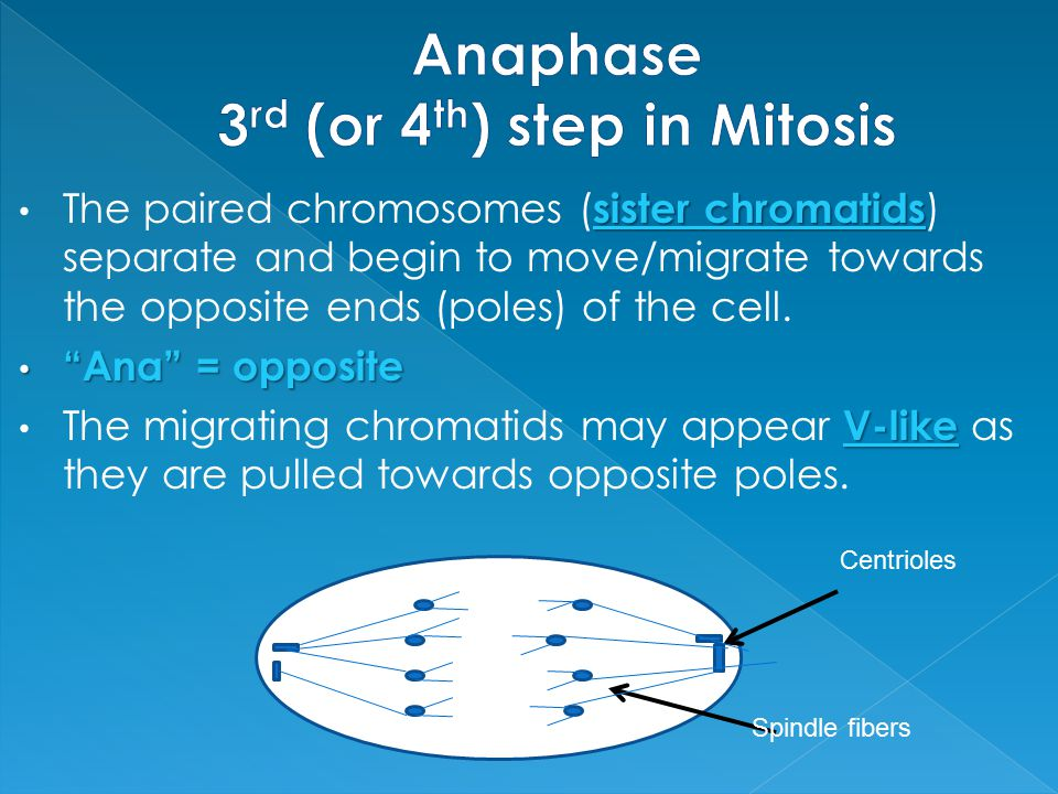 Anaphase 3rd (or 4th) step in Mitosis