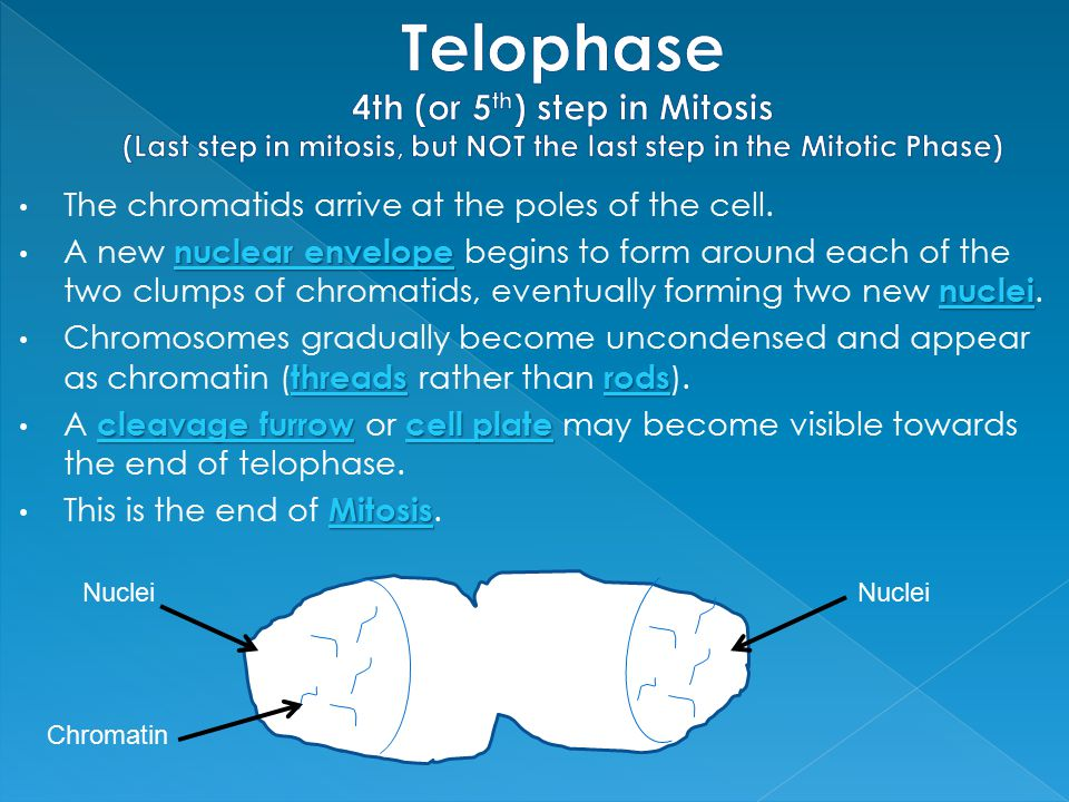 Telophase 4th (or 5th) step in Mitosis (Last step in mitosis, but NOT the last step in the Mitotic Phase)