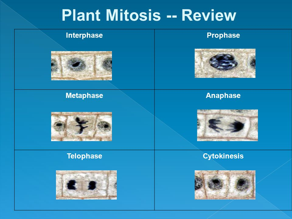 Plant Mitosis -- Review