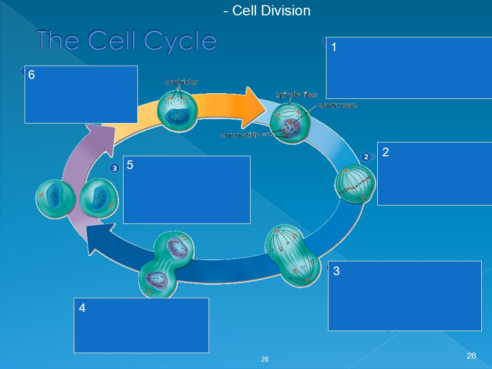 - Cell Division The Cell Cycle 1 2 3 4 6 5 28