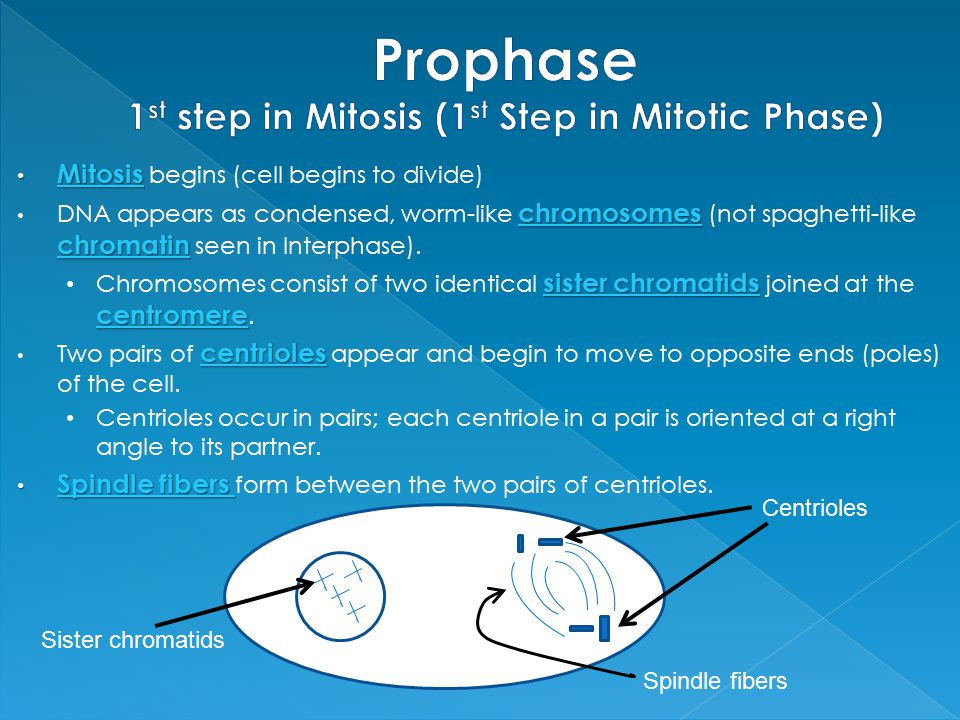 Prophase 1st step in Mitosis (1st Step in Mitotic Phase)