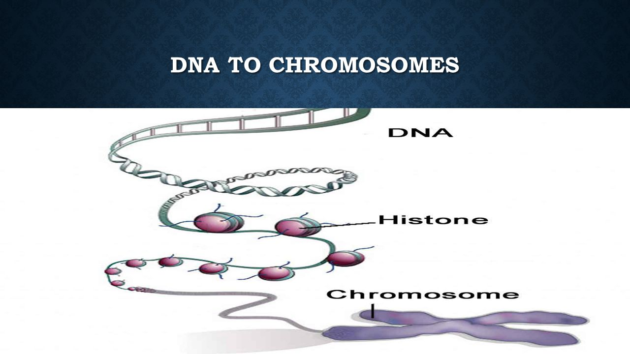 DNA to Chromosomes