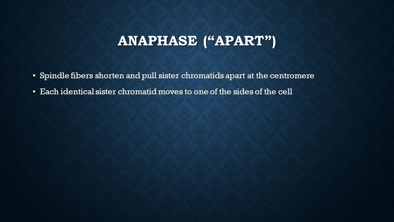 Anaphase ( Apart ) Spindle fibers shorten and pull sister chromatids apart at the centromere.