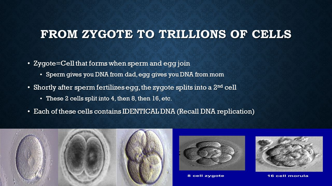 From zygote to Trillions of Cells