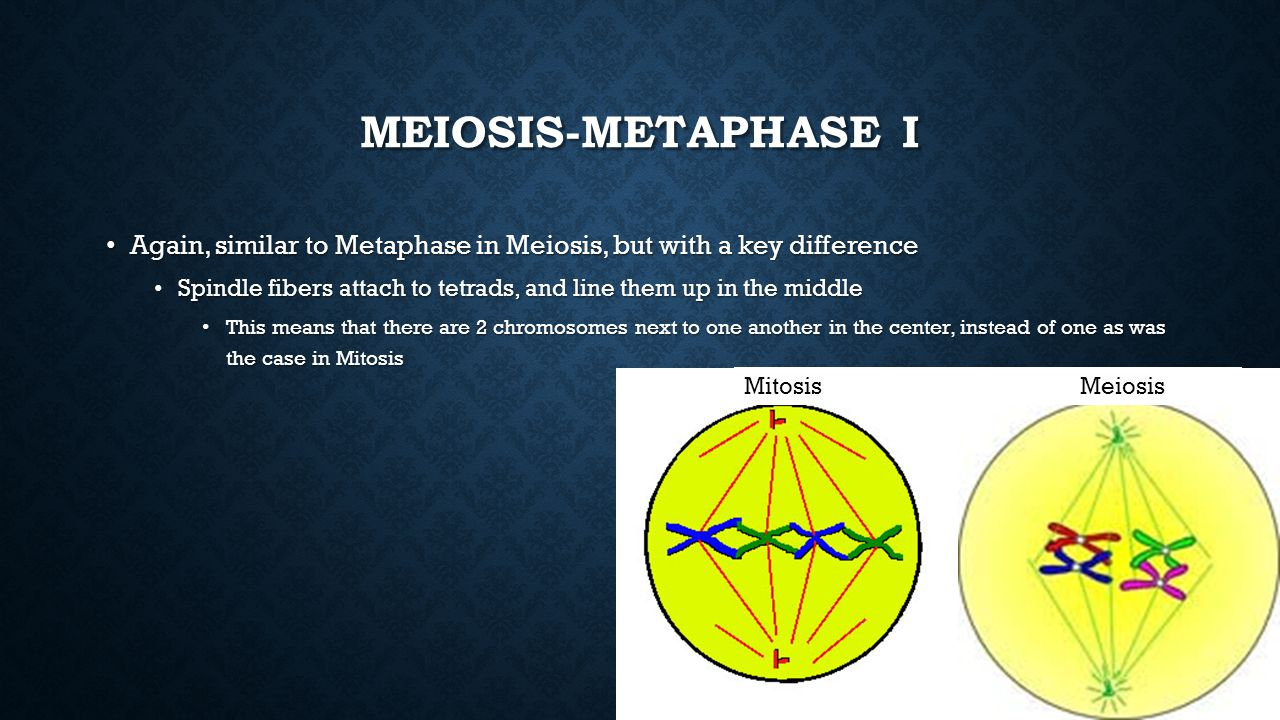 Meiosis-Metaphase I Again, similar to Metaphase in Meiosis, but with a key difference.