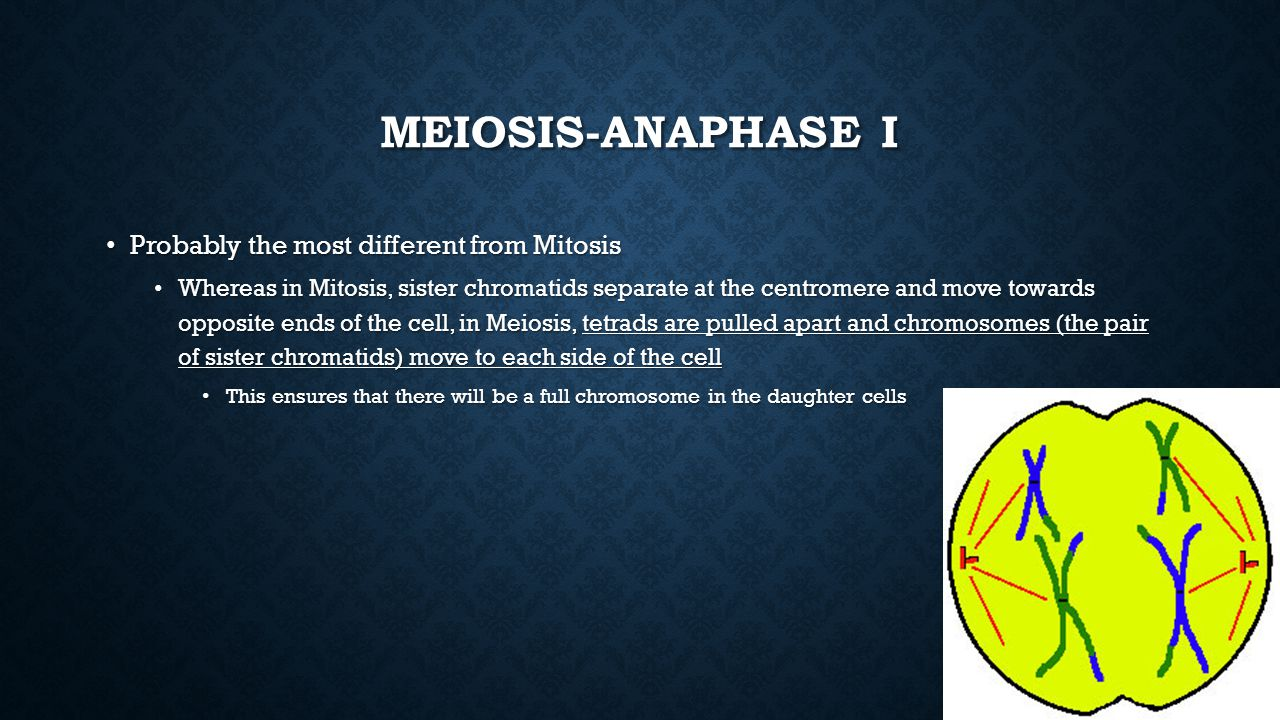 Meiosis-Anaphase I Probably the most different from Mitosis