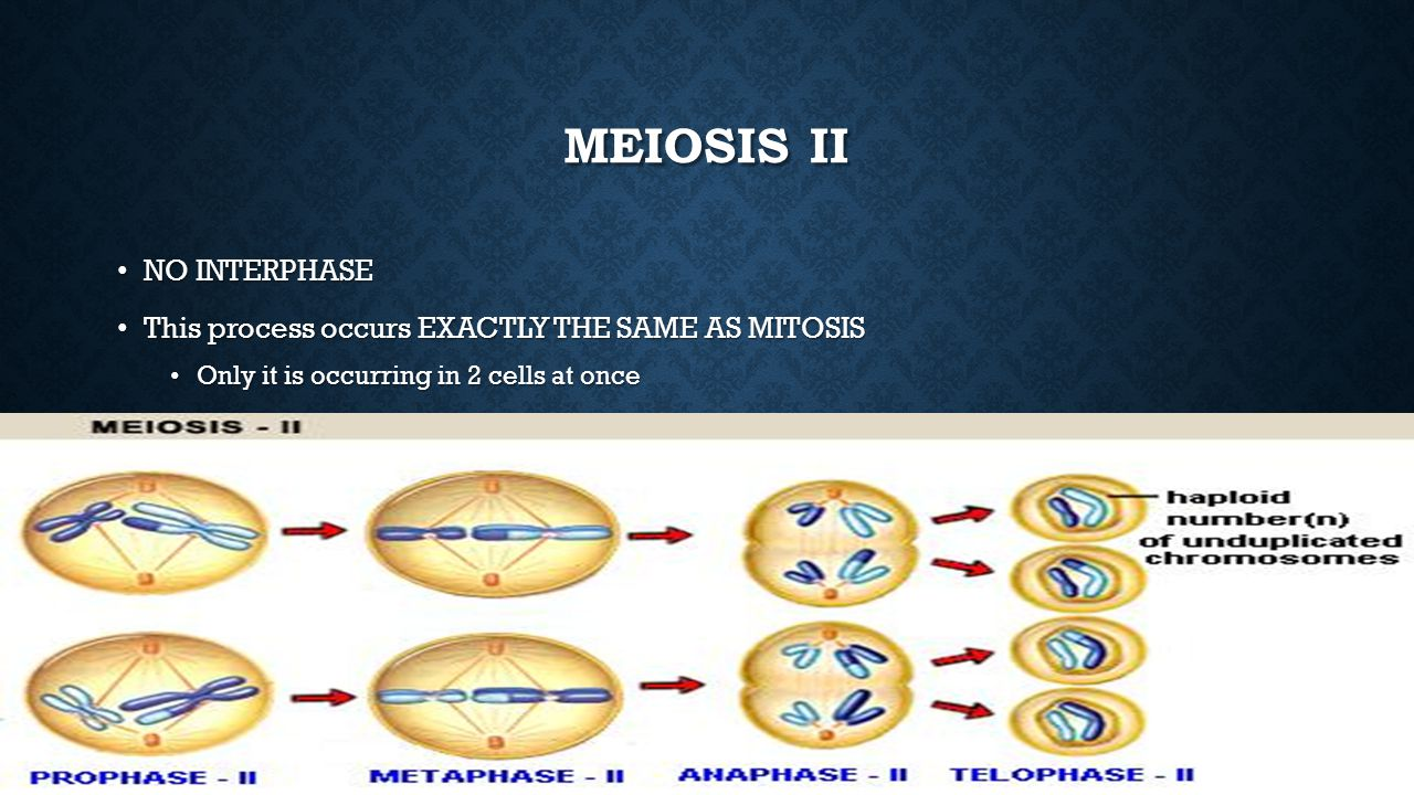 Meiosis II NO INTERPHASE