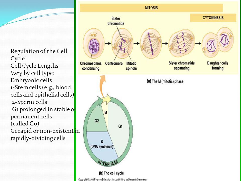 1-Stem cells (e.g., blood cells and epithelial cells) 2-Sperm cells