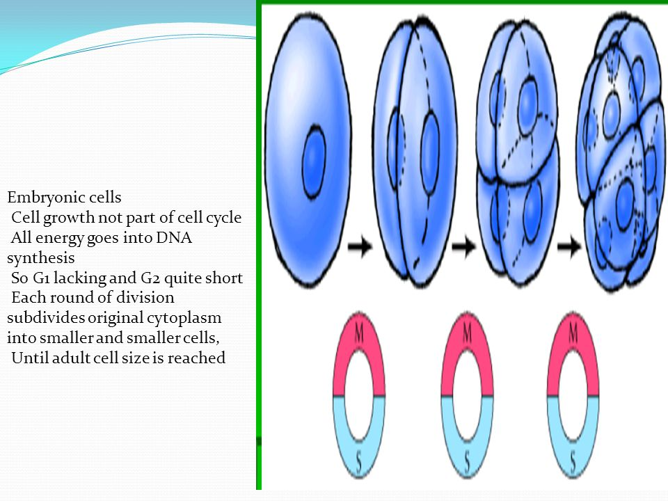 Cell growth not part of cell cycle All energy goes into DNA synthesis