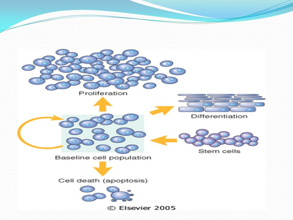 Control of Normal Cell Proliferation and Tissue Growth Body_ID: HC003004 In adult tissues, the size of cell populations is determined by the rates of cell proliferation, differentiation, and death by apoptosis.