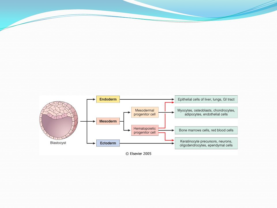 Differentiation of embryonic cells and generation of tissue cells by bone marrow precursors.