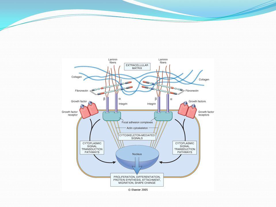 Mechanisms by which ECM (e. g