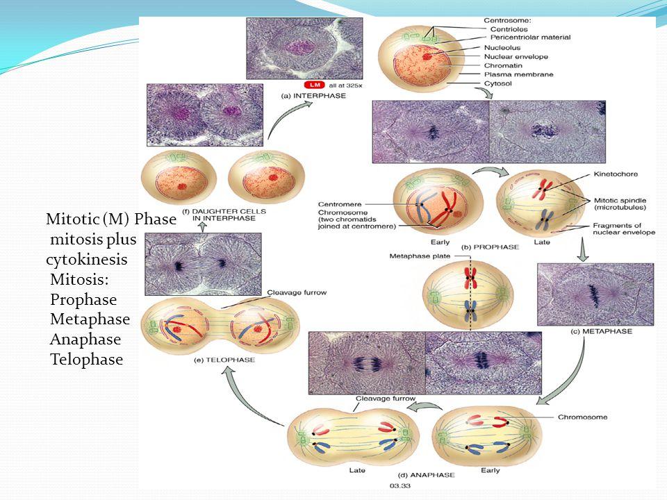 mitosis plus cytokinesis Mitosis: Prophase Metaphase Anaphase