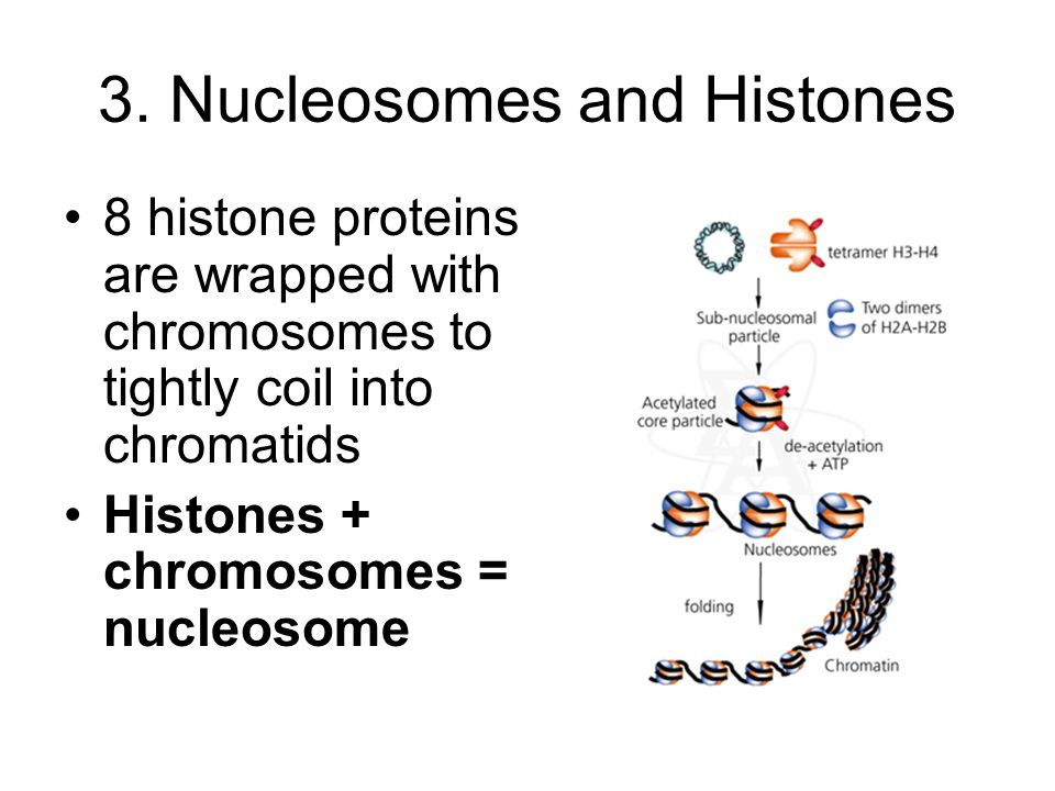 3. Nucleosomes and Histones