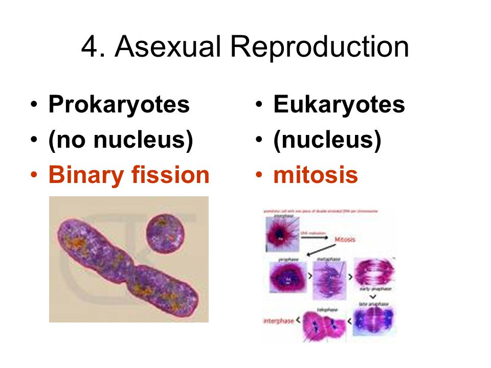 4. Asexual Reproduction Prokaryotes (no nucleus) Binary fission