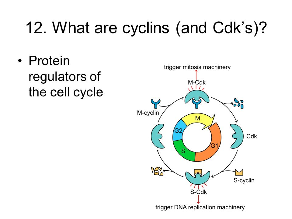 12. What are cyclins (and Cdk's)