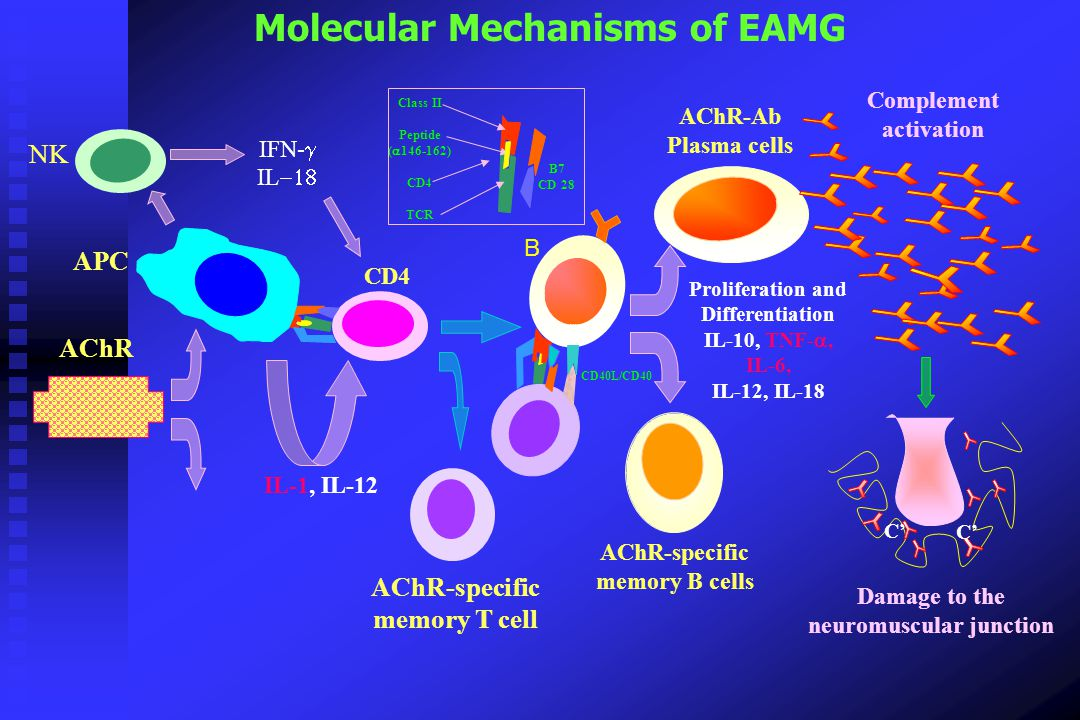 Molecular Mechanisms of EAMG