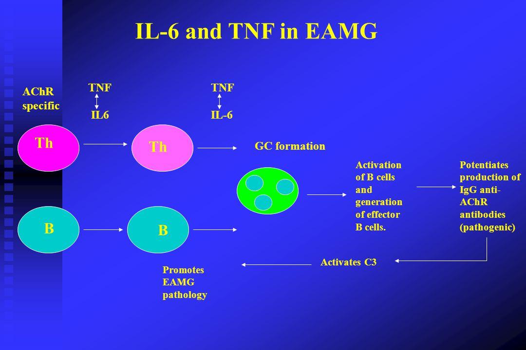 IL-6 and TNF in EAMG Th Th B B TNF TNF AChR specific IL6 IL-6