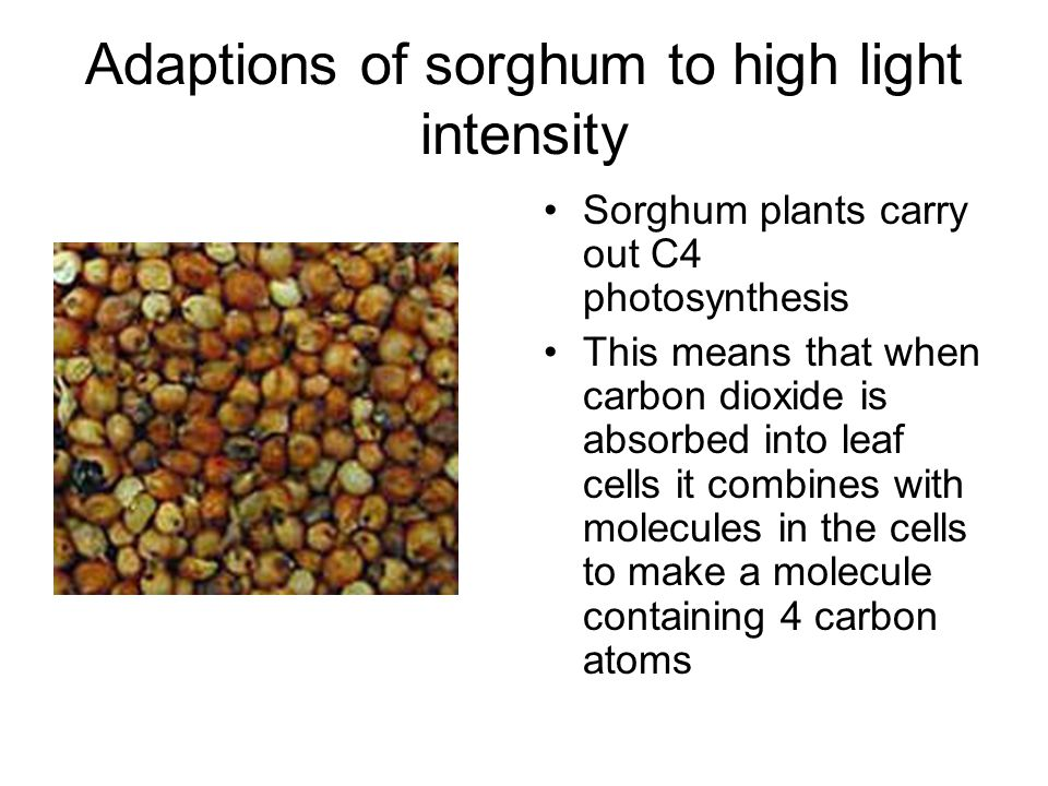 Adaptions of sorghum to high light intensity