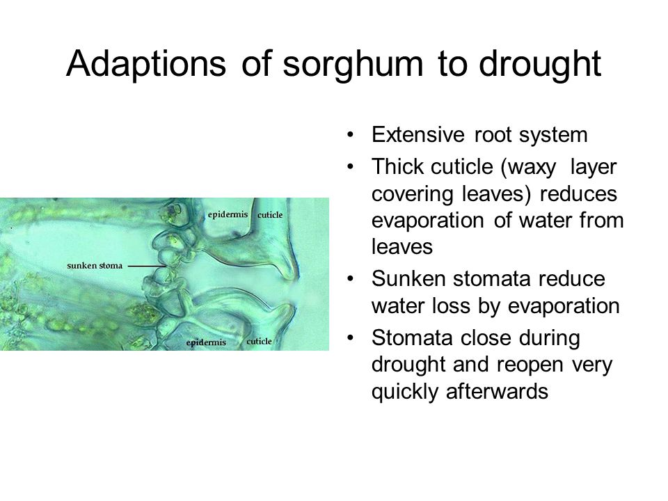Adaptions of sorghum to drought