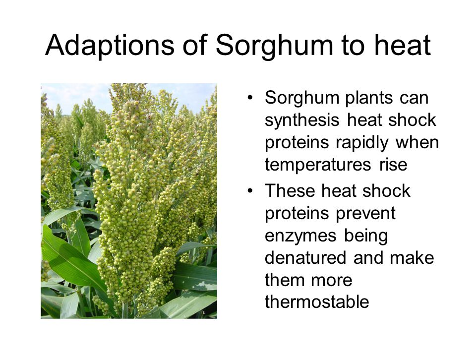 Adaptions of Sorghum to heat
