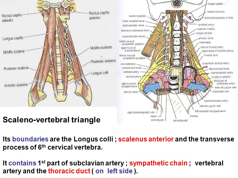 Scaleno-vertebral triangle Its boundaries are the Longus colli ; scalenus anterior and the transverse process of 6th cervical vertebra.