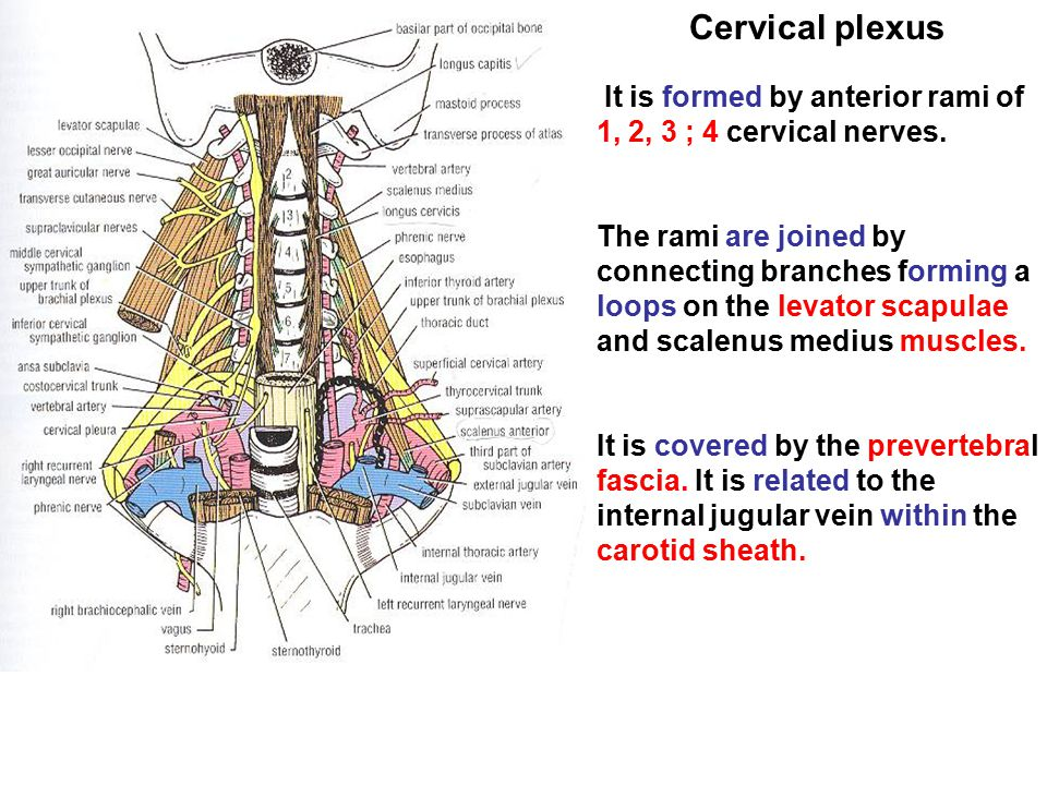 Cervical plexus It is formed by anterior rami of 1, 2, 3 ; 4 cervical nerves.