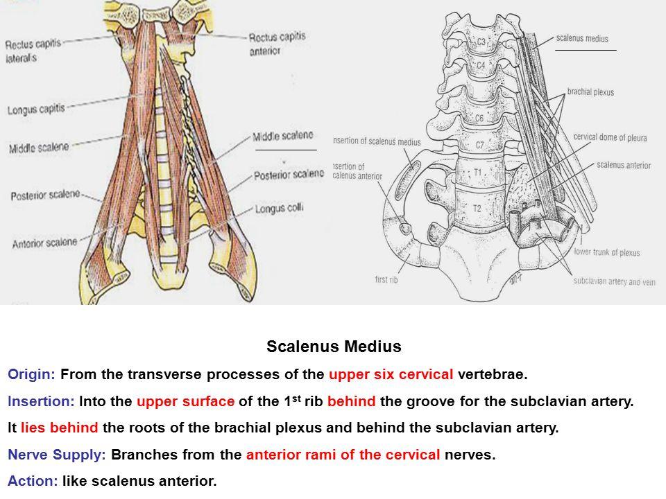 Scalenus Medius Origin: From the transverse processes of the upper six cervical vertebrae.