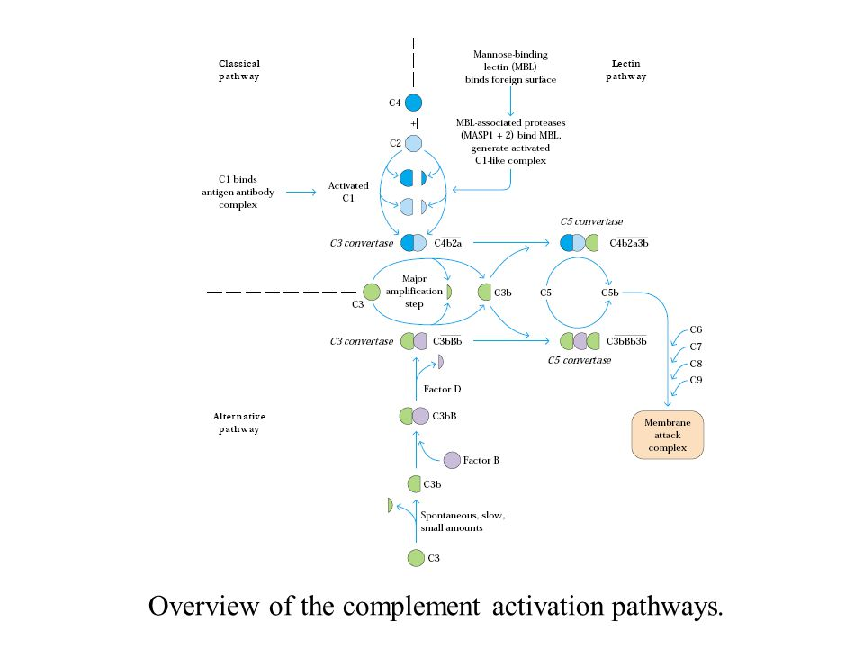 Overview of the complement activation pathways.
