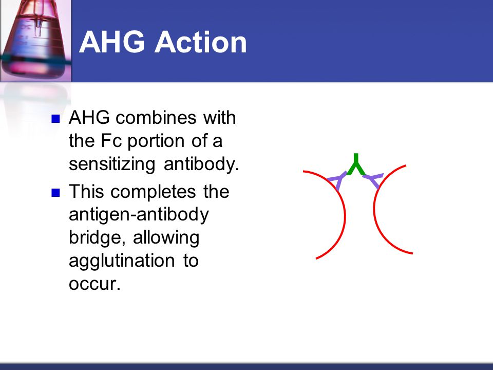 AHG Action AHG combines with the Fc portion of a sensitizing antibody. This completes the antigen-antibody bridge, allowing agglutination to occur.
