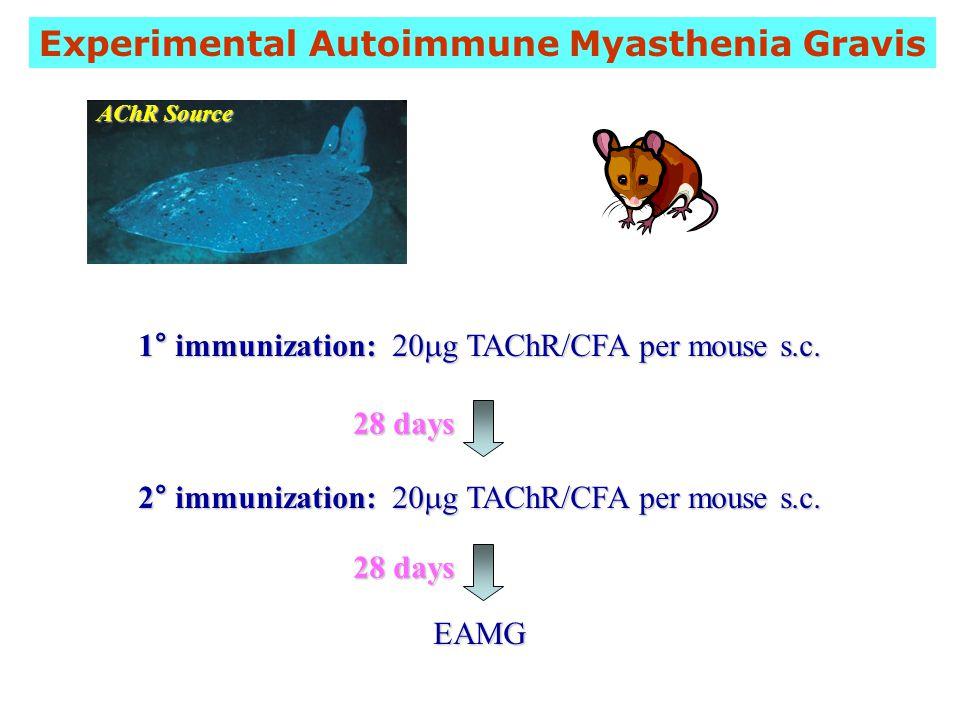 Experimental Autoimmune Myasthenia Gravis