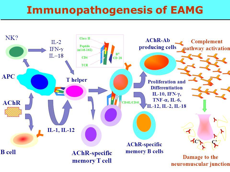 Immunopathogenesis of EAMG