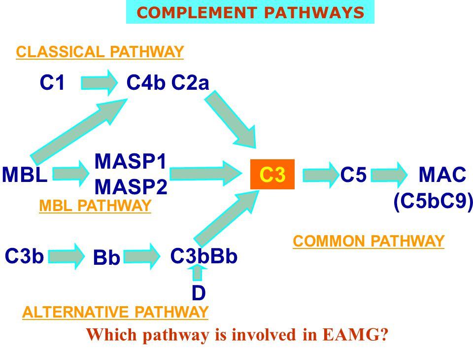C1 C4b C2a MASP1 MASP2 MBL C3 C5 MAC (C5bC9) C3b Bb C3bBb D