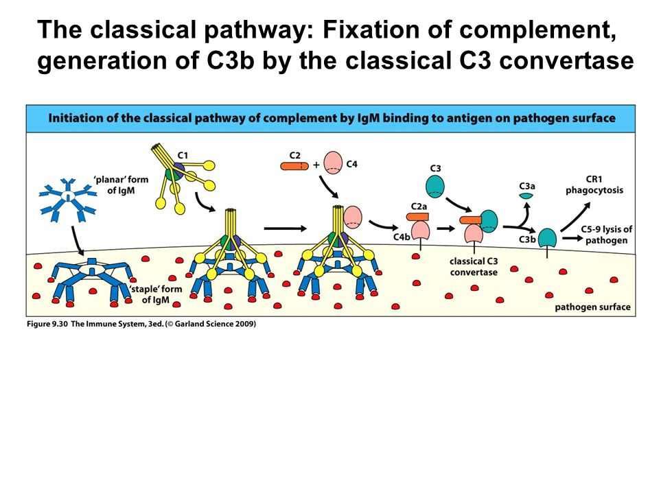 The classical pathway: Fixation of complement,