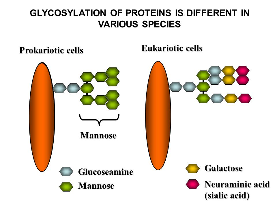 GLYCOSYLATION OF PROTEINS IS DIFFERENT IN VARIOUS SPECIES