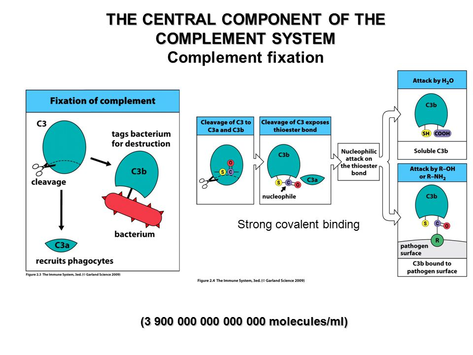 THE CENTRAL COMPONENT OF THE COMPLEMENT SYSTEM