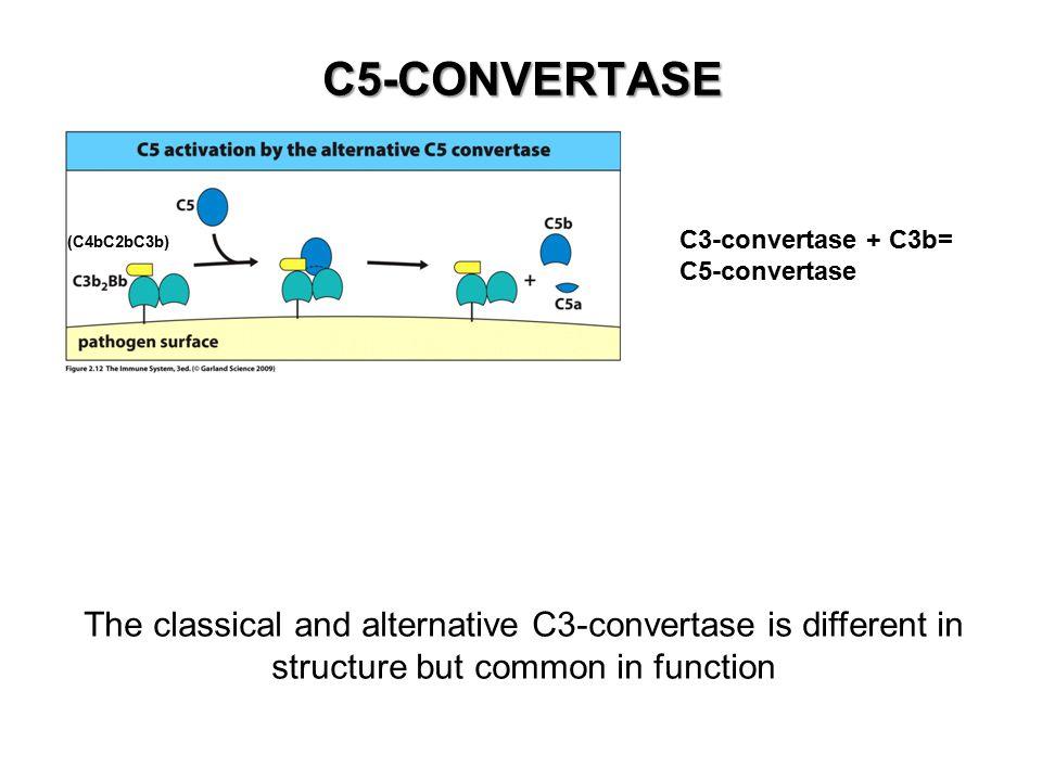 C5-CONVERTASE C3-convertase + C3b= C5-convertase. (C4bC2bC3b)